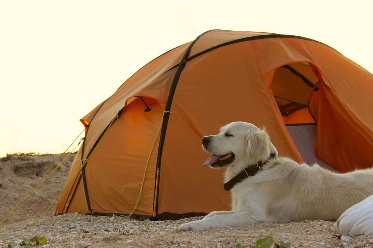 Golden Retriever guarding tent and gear for a hike