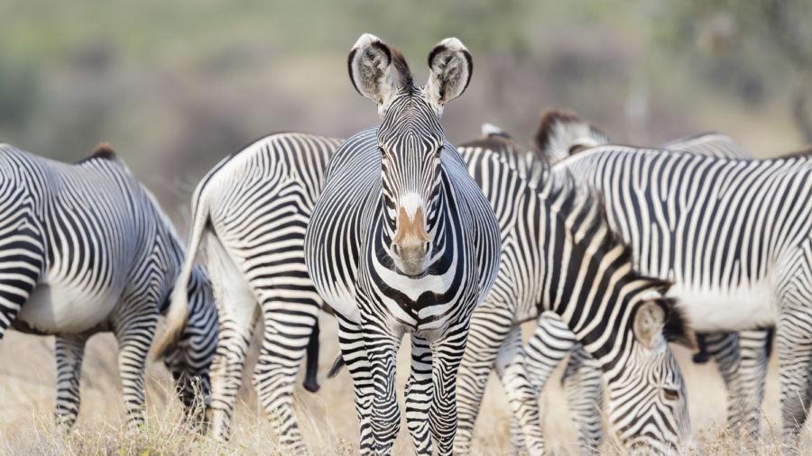 Saving Africa's Grevy's zebra from extinction