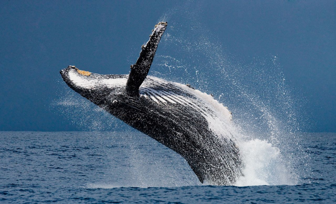 Humpback whale breaching in Madagacar