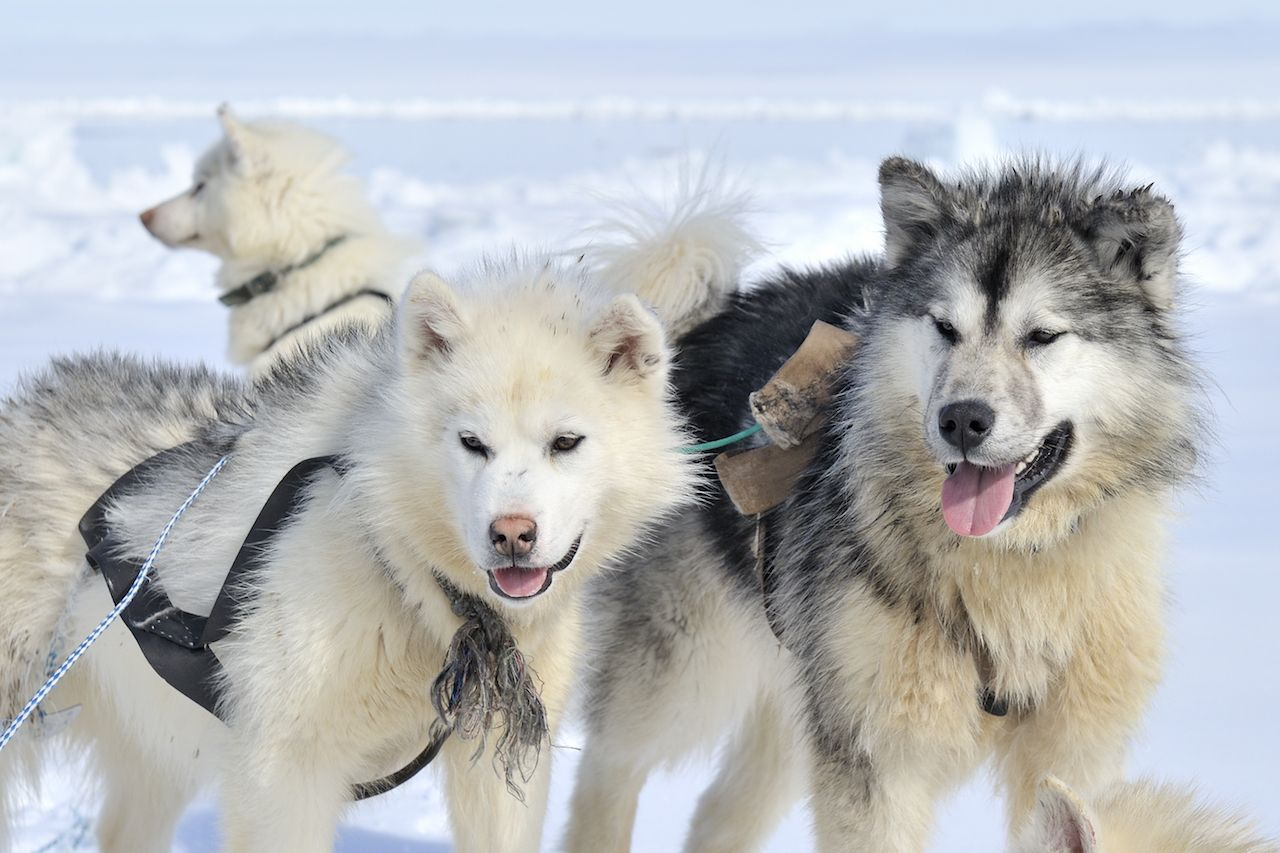 Husky sled dogs portrait on the sea ice in Nunavut in Canada