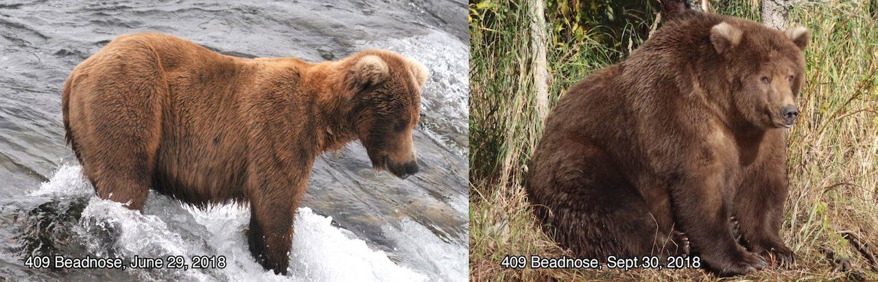 Katmai National Park and Preserve bear 409 Beadnose