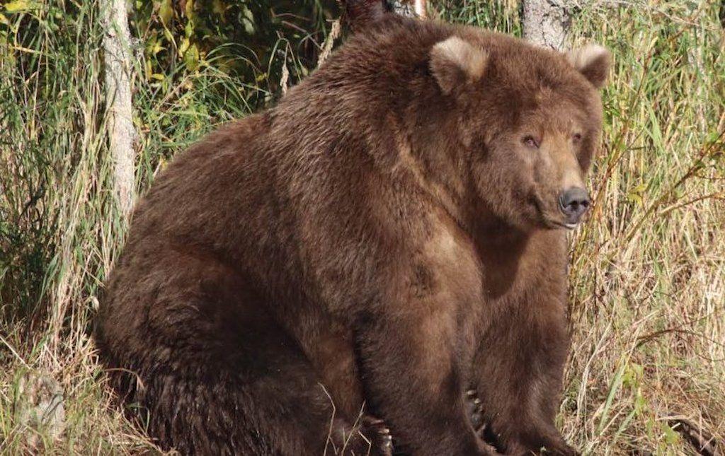 Alaska's Fat Bear Week contest