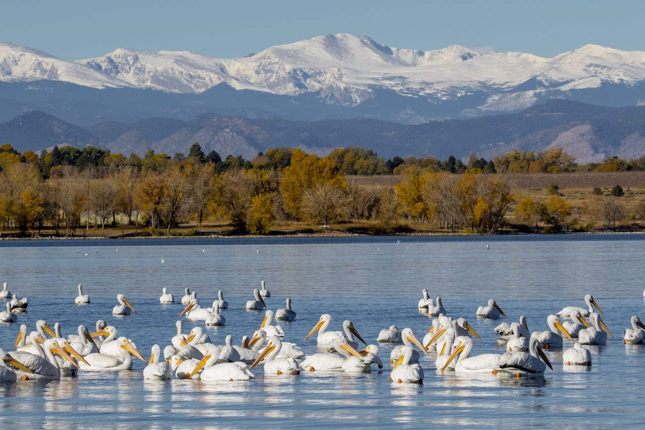 Migration of the American White Pelican with a stop at the Cherry Creek Reservoir in suburban Denver
