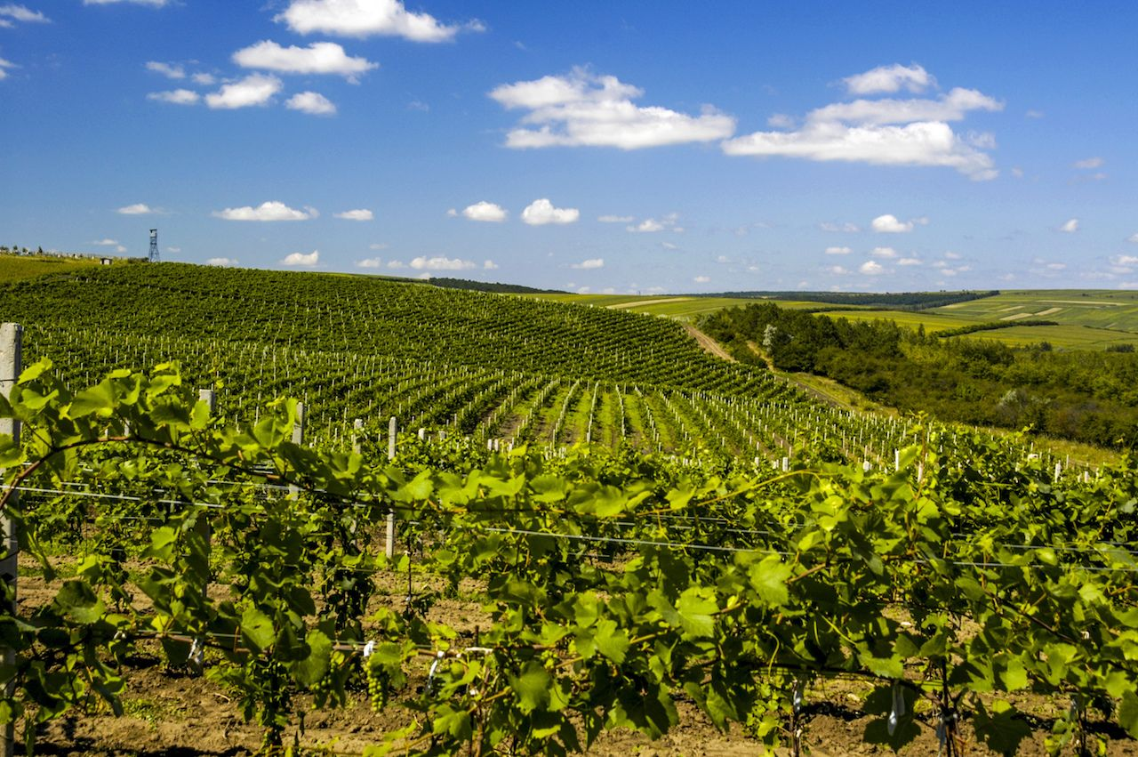 Moldova, famous wineyard of Cricova, vineyards, Chisinau area