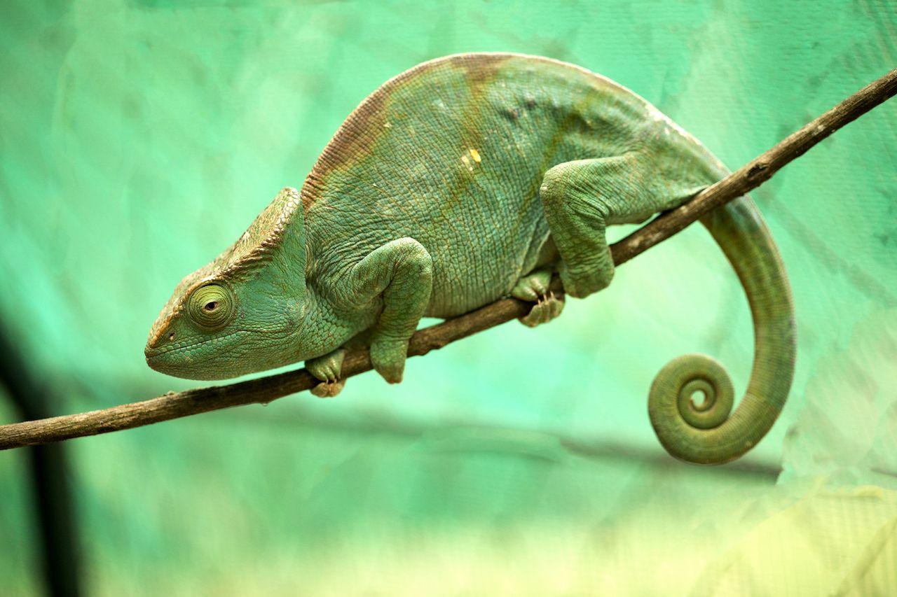 Parsons chameleon in Madagascar