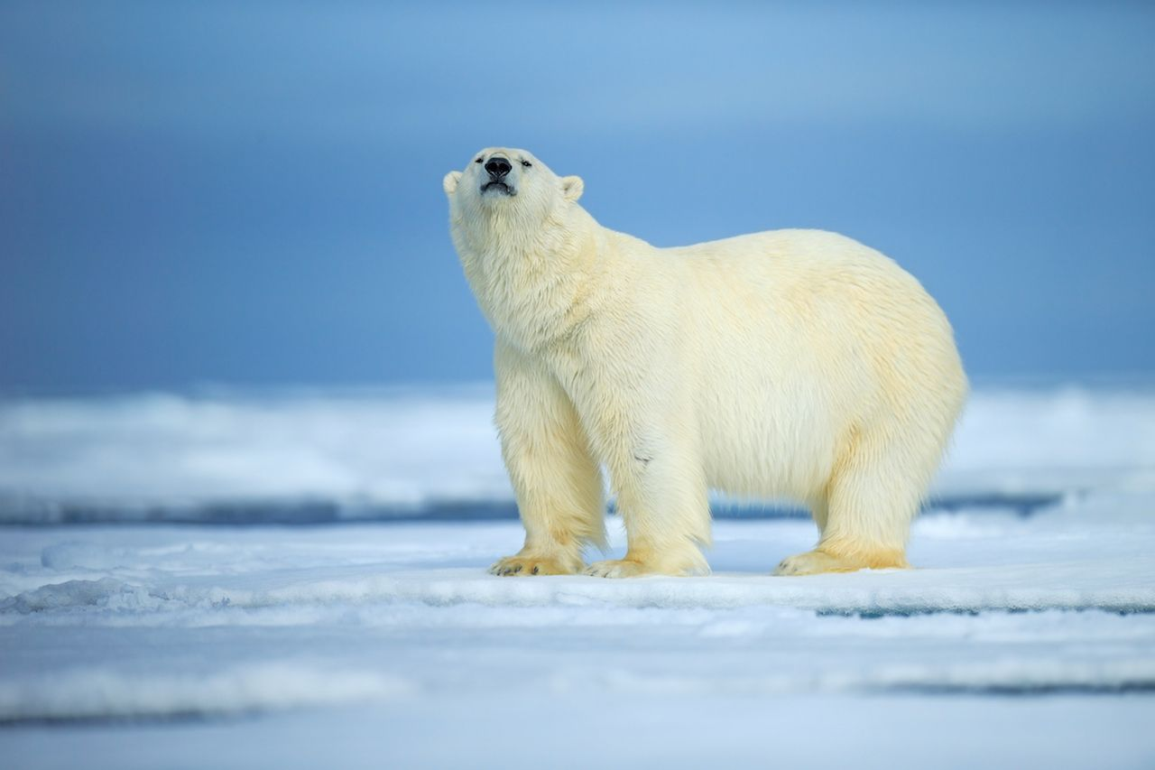 Polar bear, dangerous looking on the ice in Russia