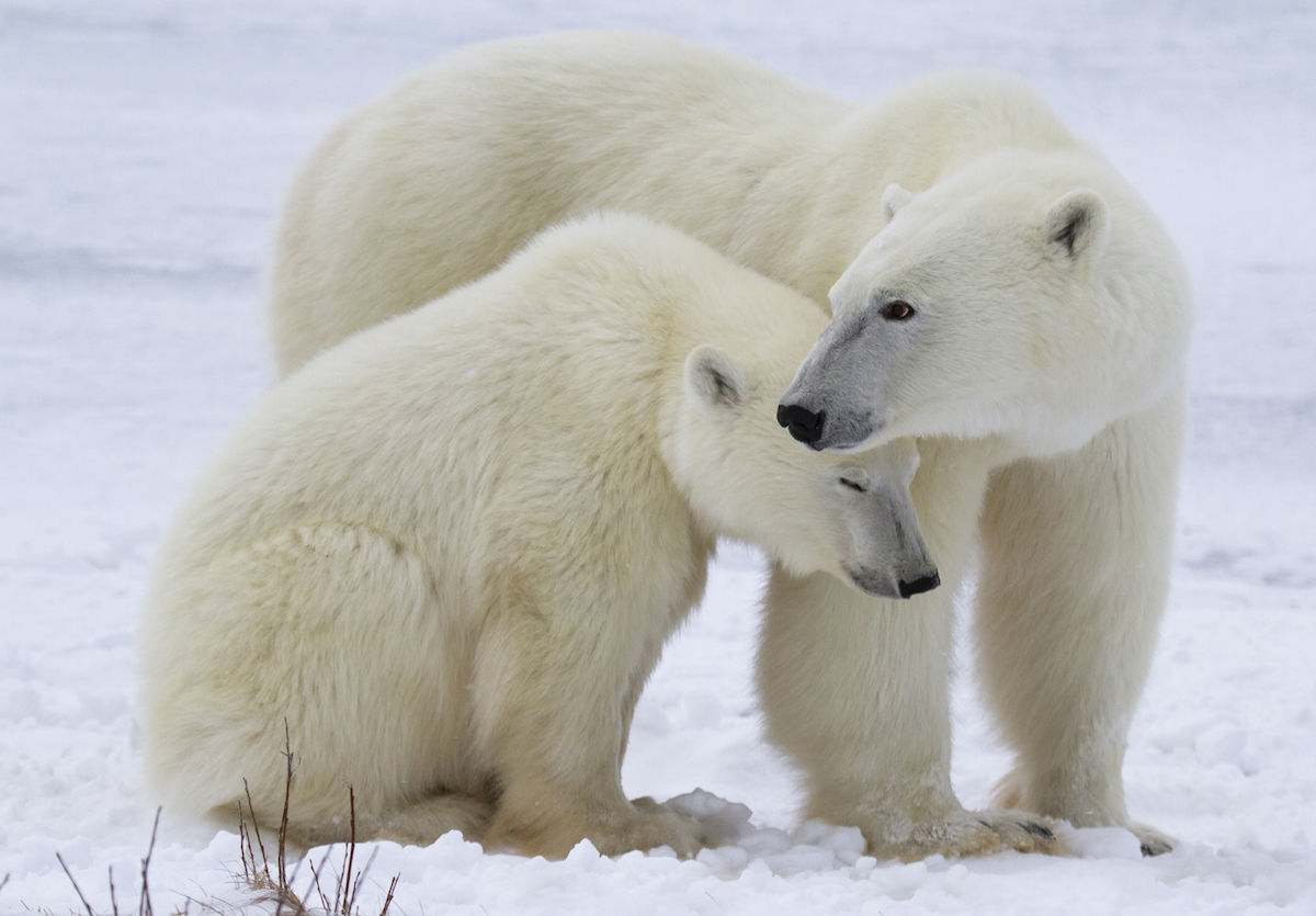 Best Places To See Polar Bears In The Wild