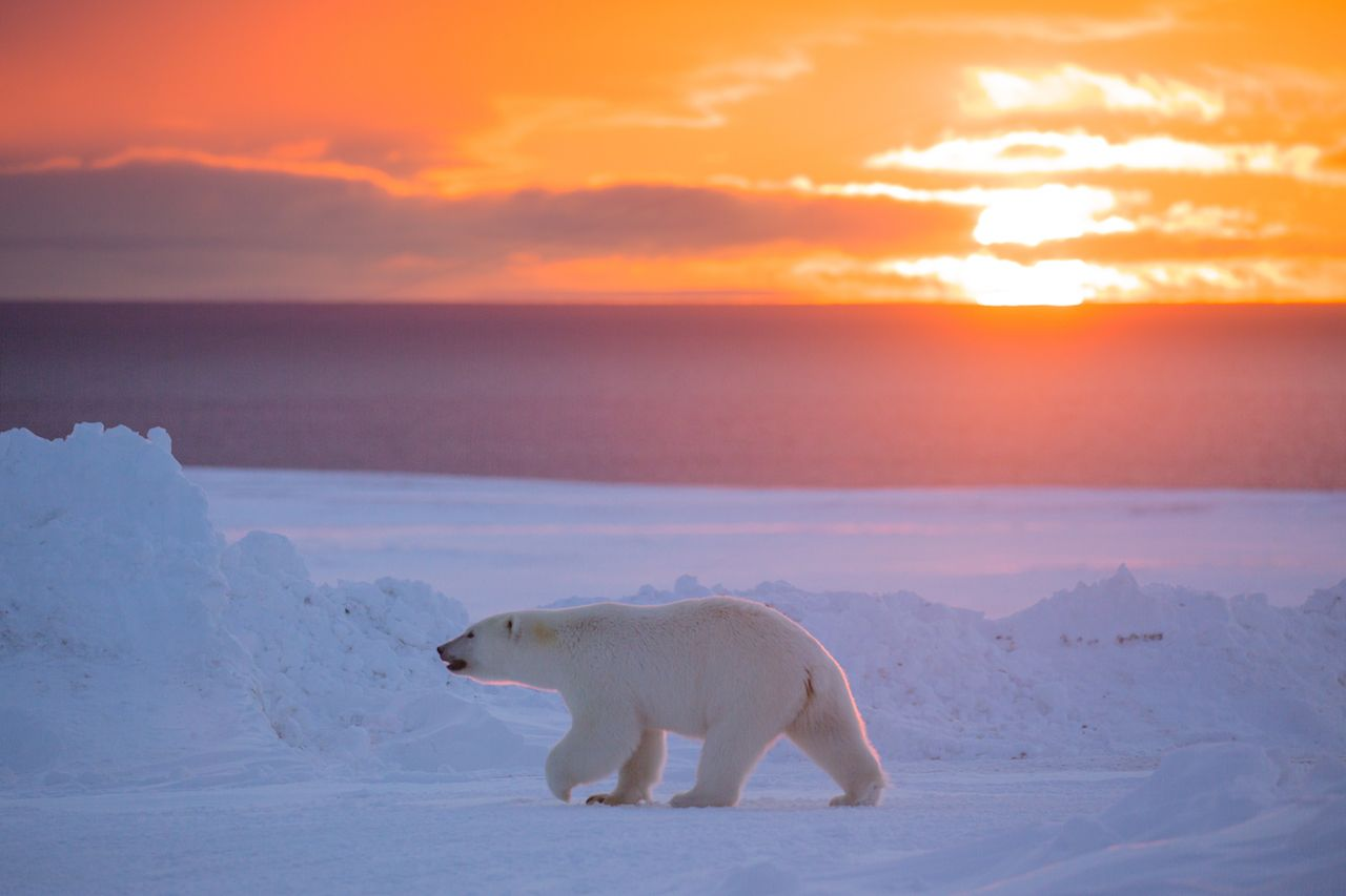 Polar bear walking with a sunset backdrop