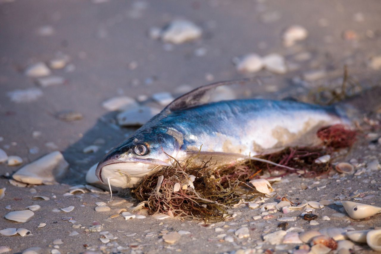 Red tide causes fish to wash up dead on Delnor-Wiggins State Park Pass beach in Naples, Florida
