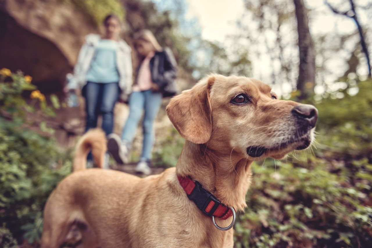 Small yellow dog on a forest trail with people walking in the background
