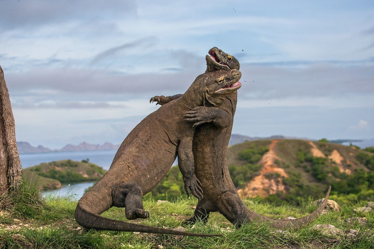 Two Komodo dragons fighting in Indonesia