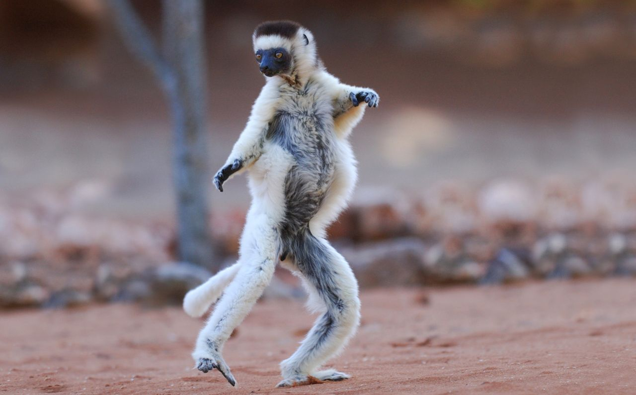 Verreauxs Sifaka dancing in the Berenty Nature Reserve in Madagascar