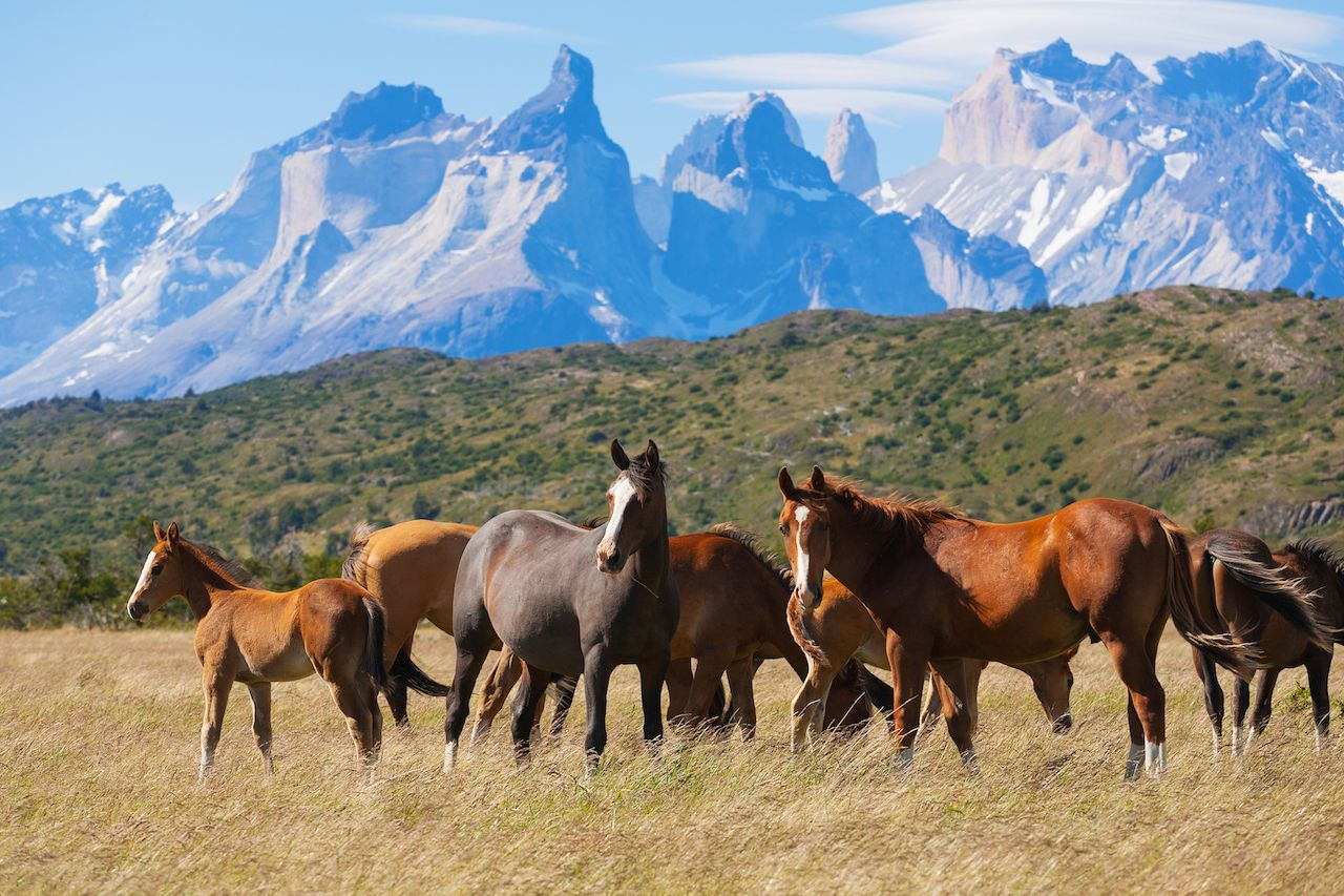 Wild horses in the Torres del Paine National Park, Patagonia, Chile