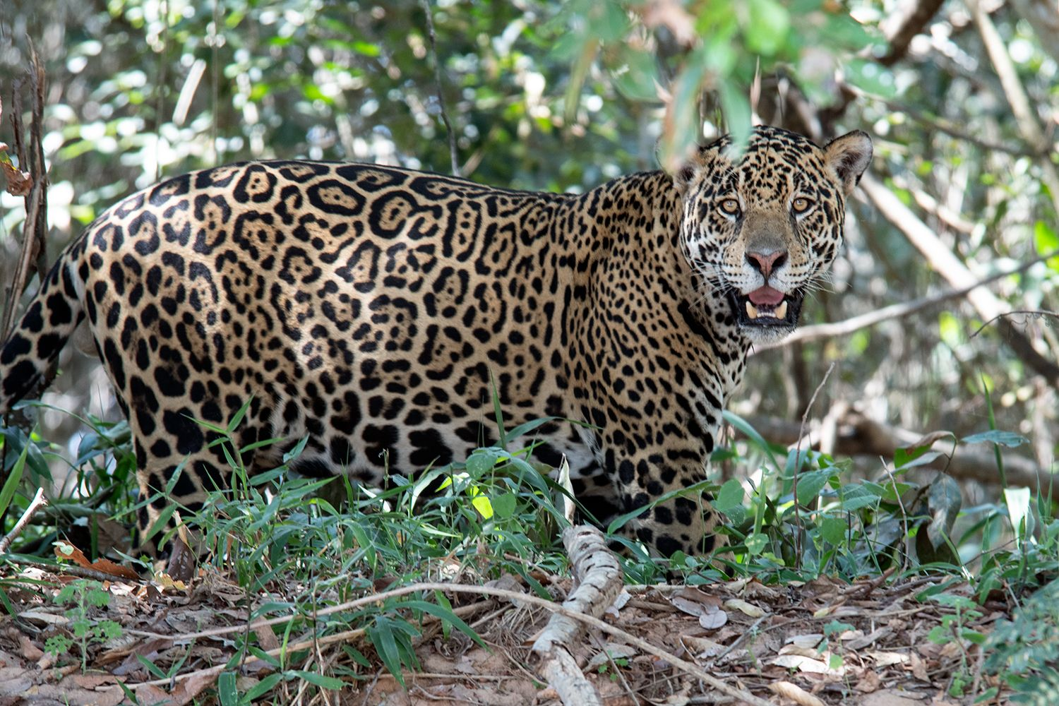 Pantanal is the best for wildlife