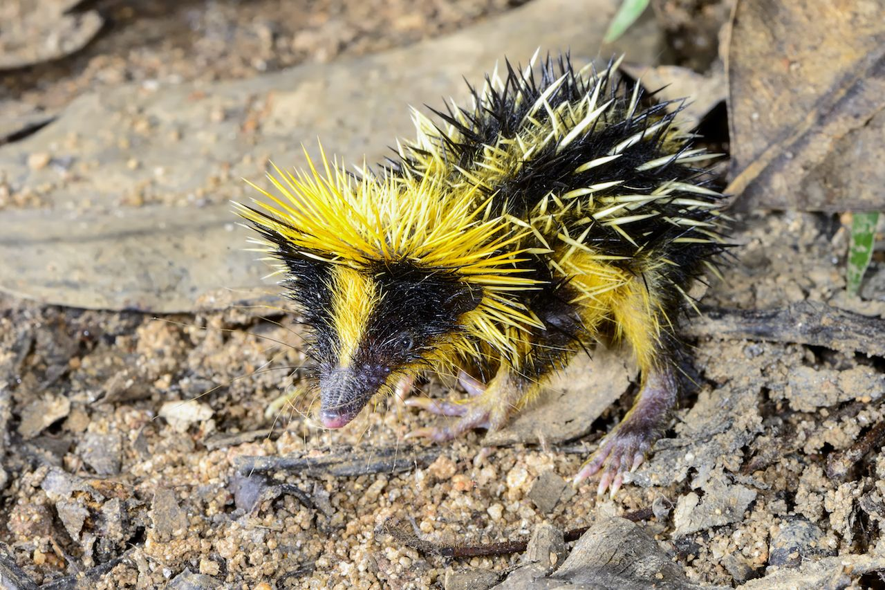 lowland streaked tenrec in Andasibe in Madagascar