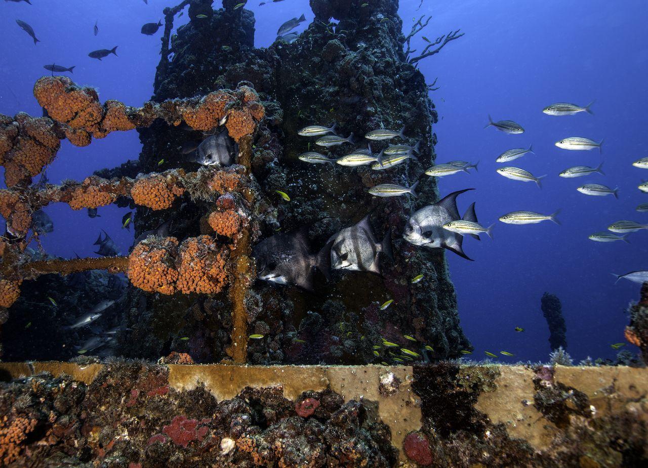Atlantic spadefish swimming in Florida