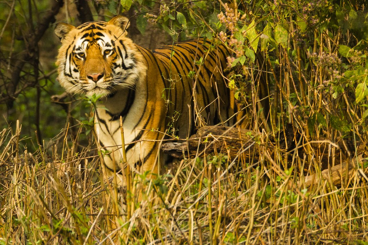 Bengal tiger at Kanha National Park, Madhya Pradesh, India