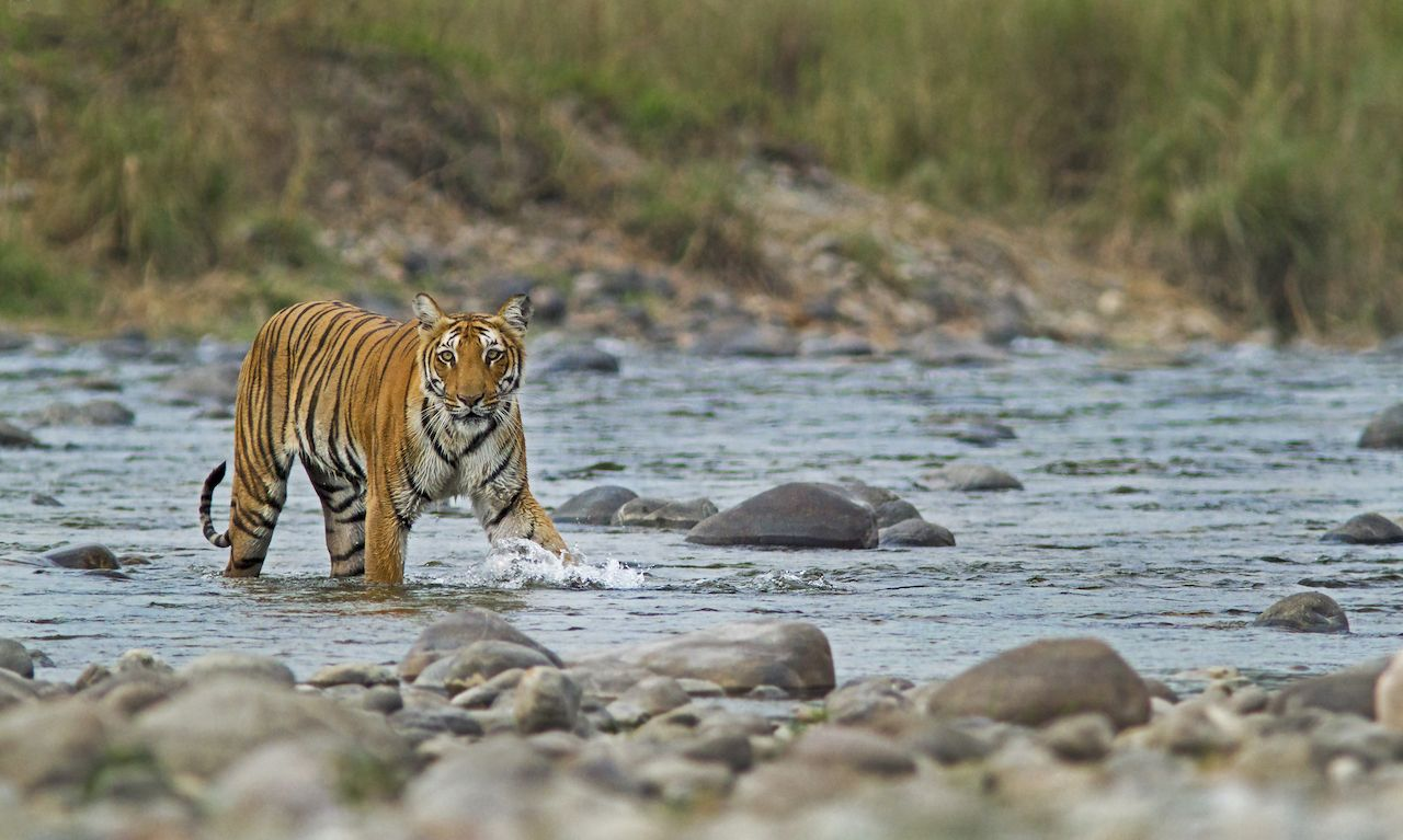 Bengal tiger crossing a river in Corbett National Park, India