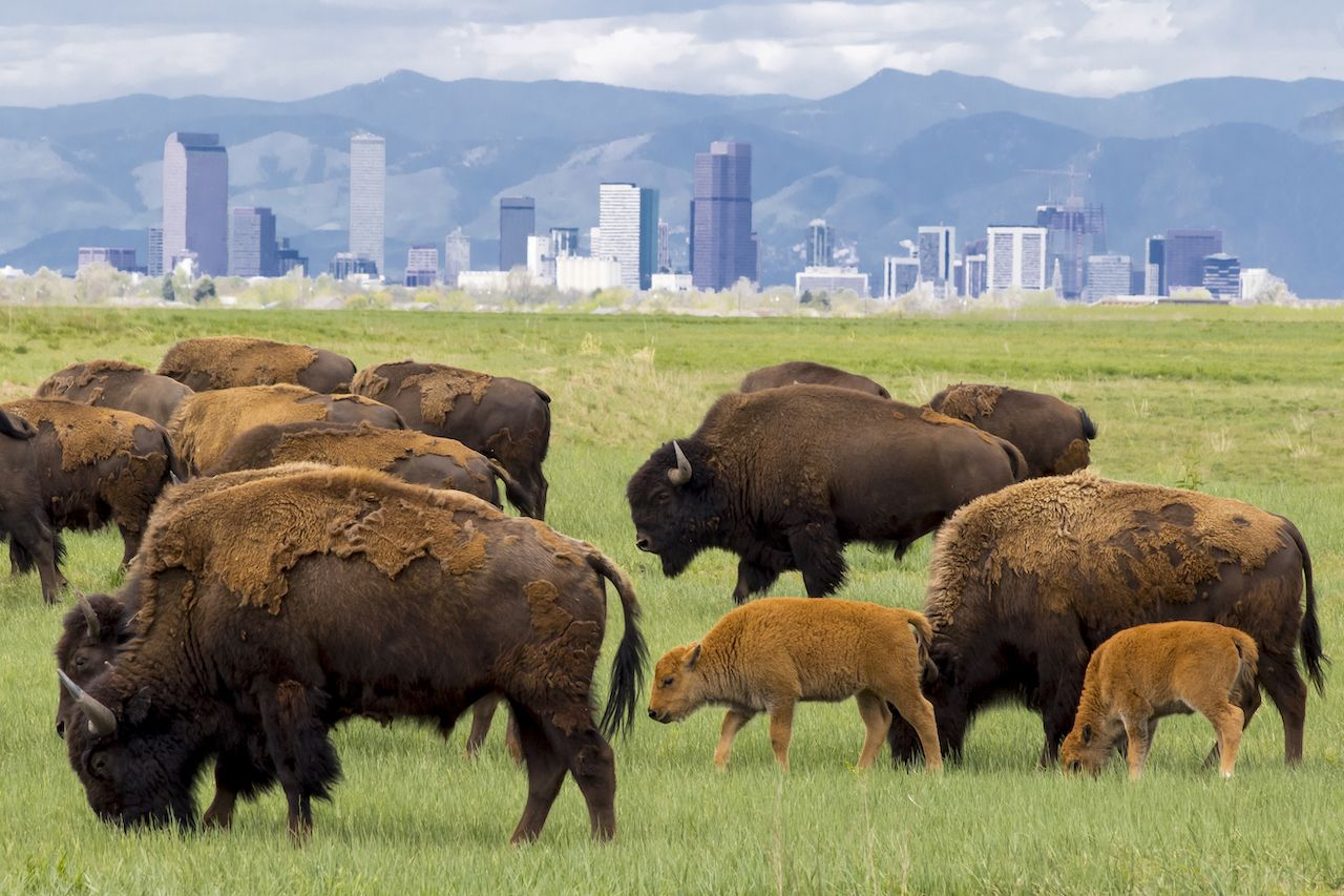 Bison herd at Rocky Mountain Arsenal National Wildlife Refuge