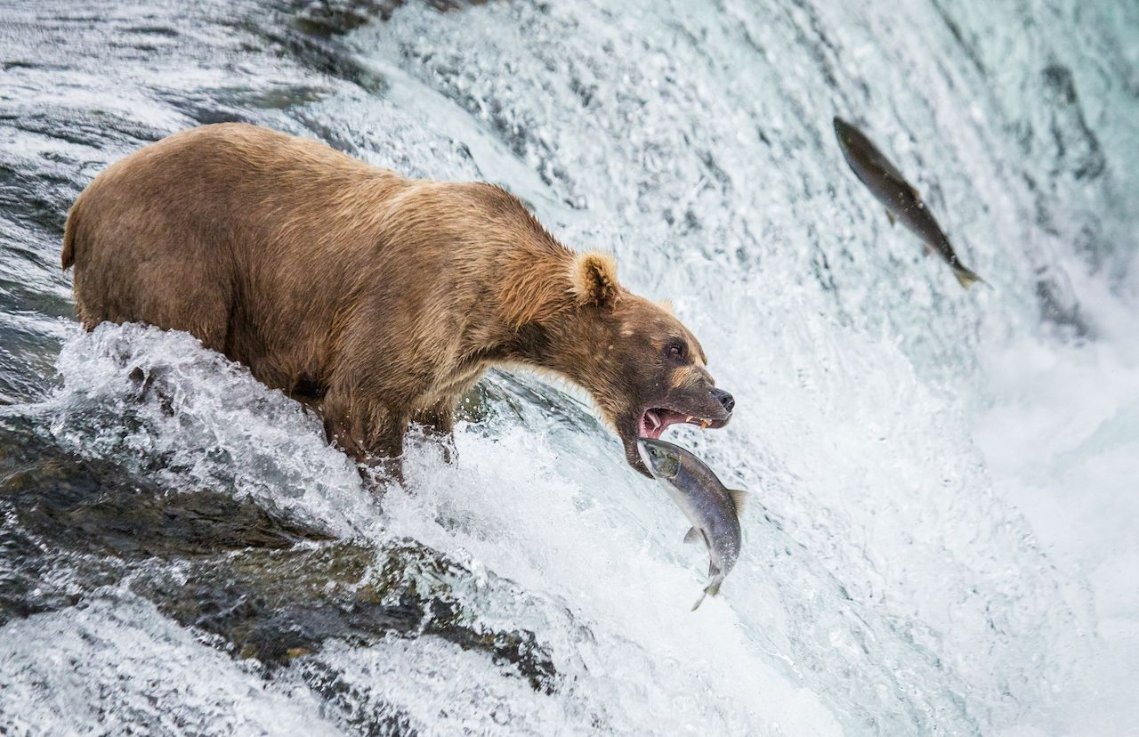 Brown bear catches a salmon in the river in Alaska