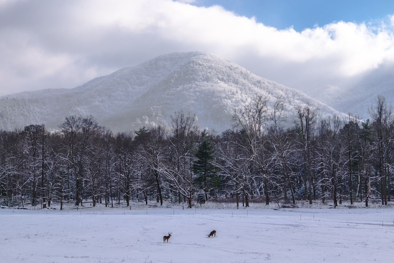 Buck deer foraging in a snowy meadow in Smoky Mtn Nat'l Park's Cades Cove