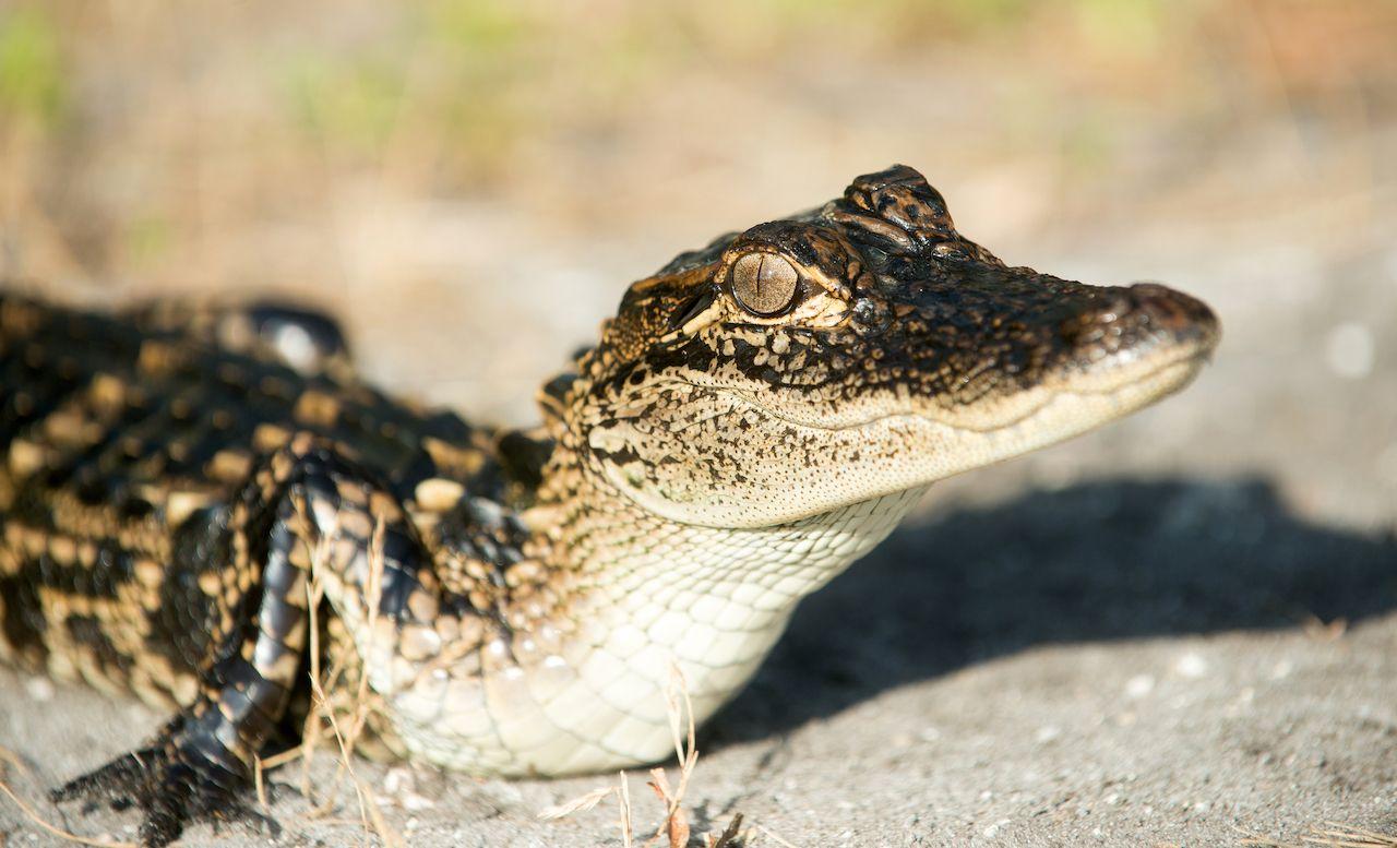 Pet alligators at NOLA airport