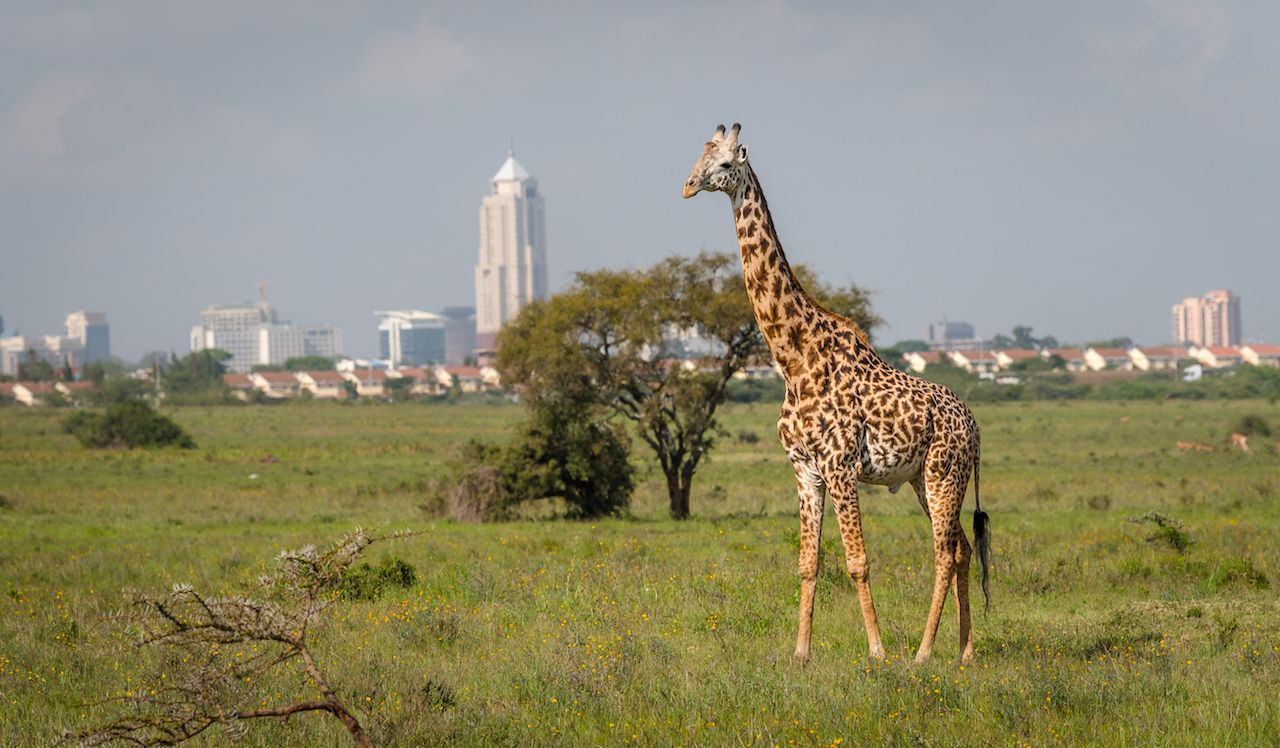Giraffe in Nairobi city the capital of Kenya