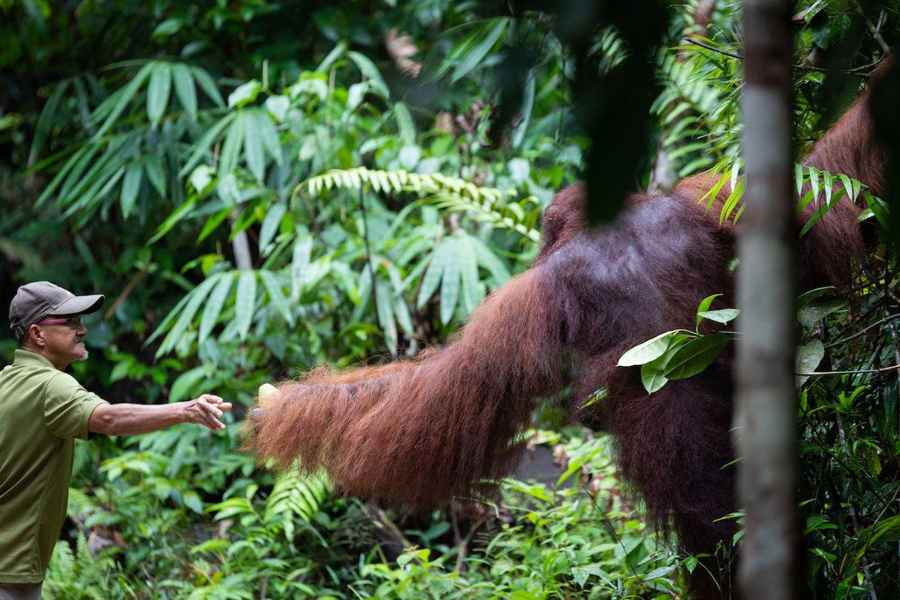 Orangutan at the Semenggoh Nature Reserve in Kuching, Borneo, Malaysia.