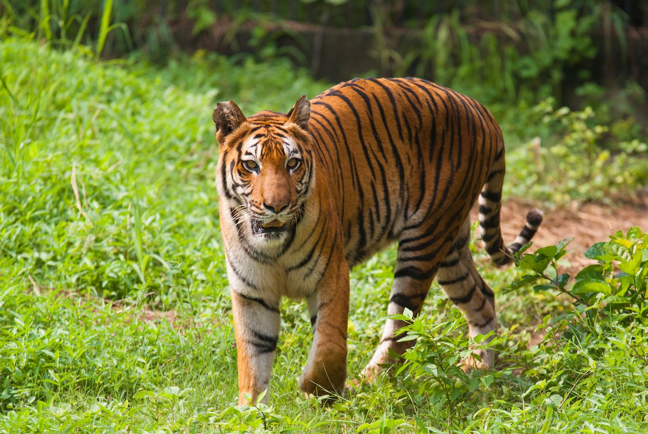 Royal bengal tiger at Sundarban National Park, India