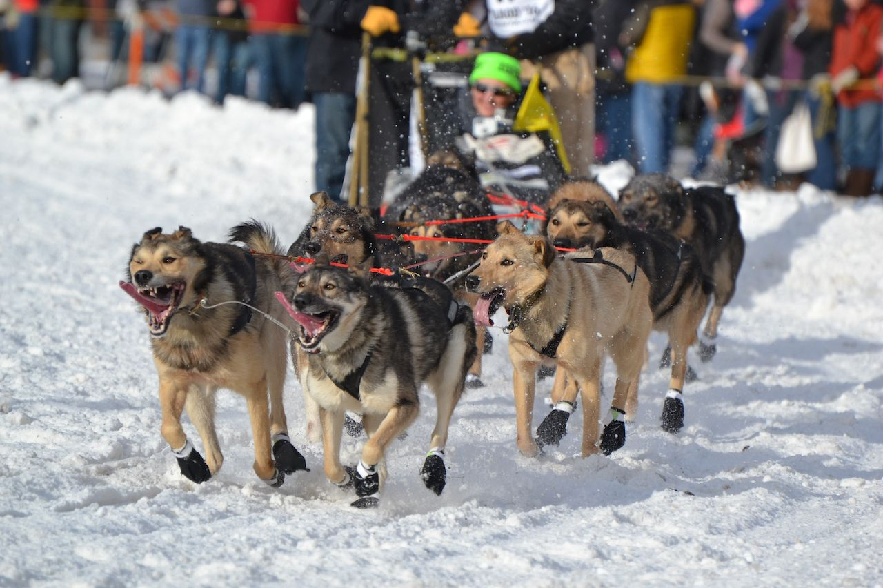 sled dogs run through snow-covered Anchorage streets for the Iditarod