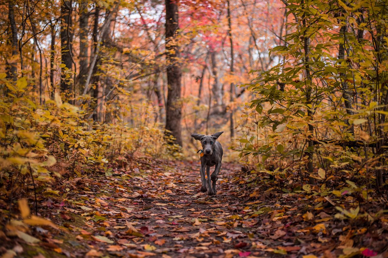 A Weimaraner puppy hiking New York trails in autumn