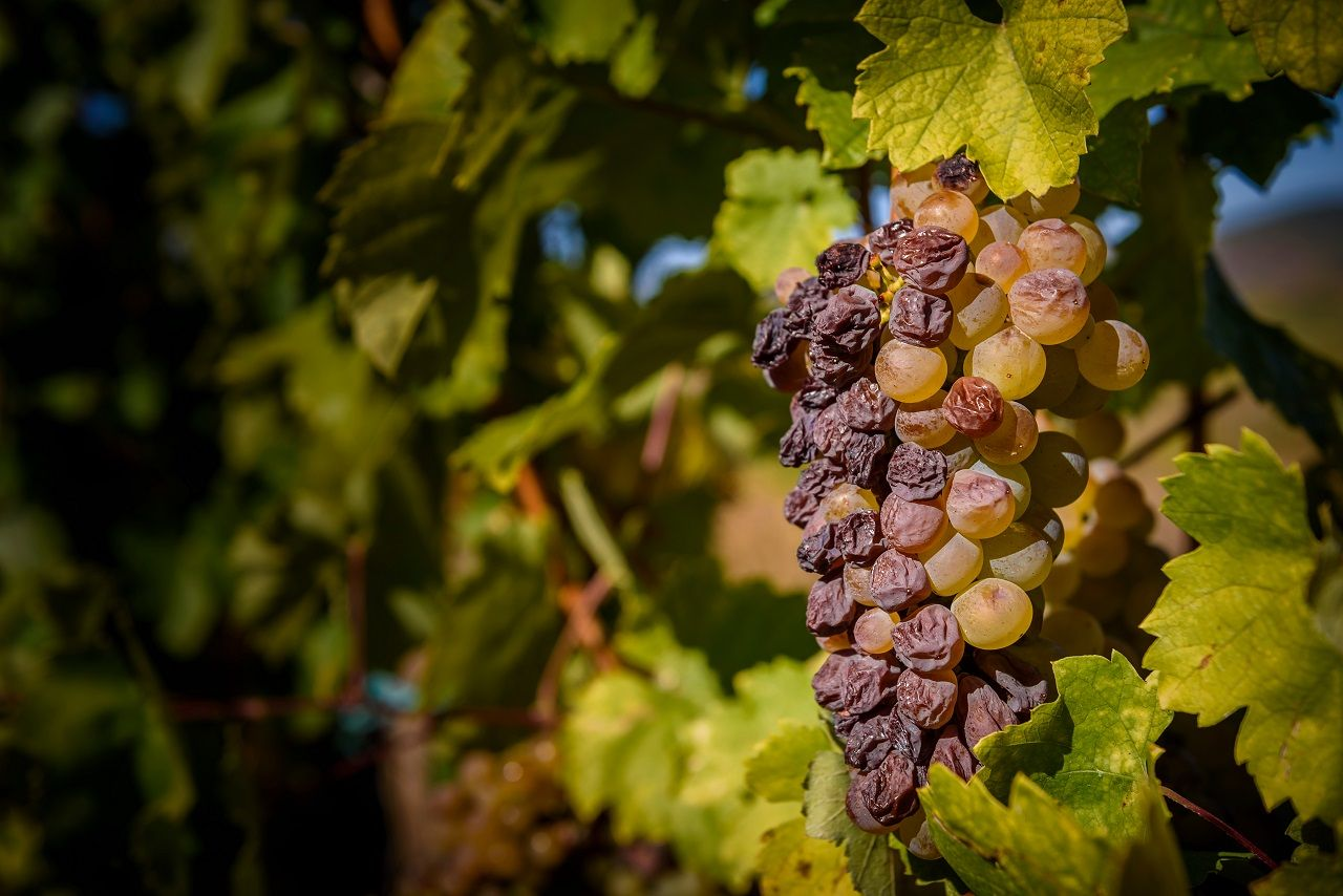 Cluster of botrytised Furmint aszu grape in Hungary
