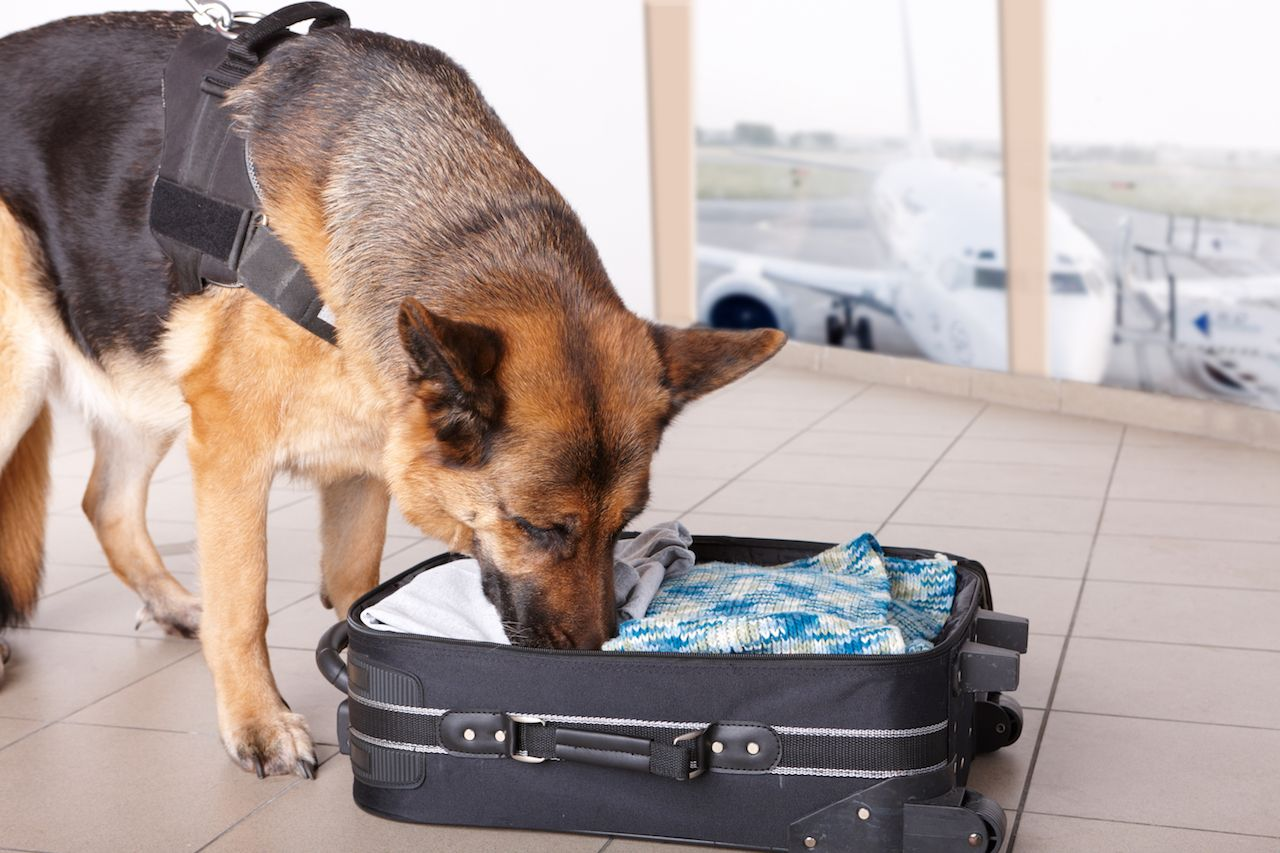 Dog sniffs out drugs or bomb in a luggage