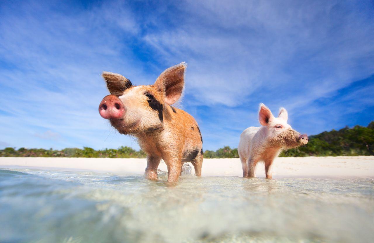 Exuma pig swim Nassau