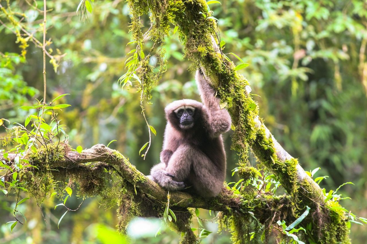 Gibbon monkey discovered in Greater Mekong region