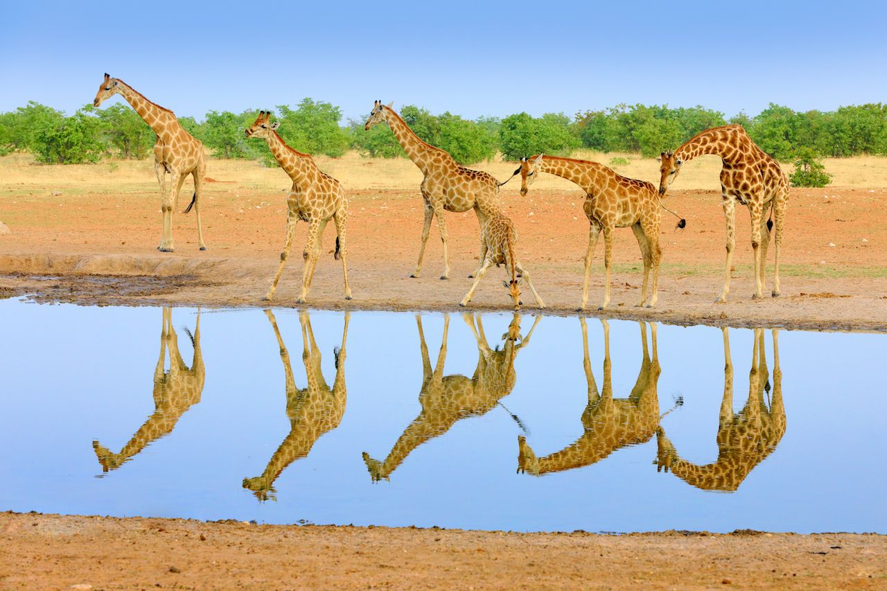 Giraffes by the watering hold in Etosah National Park in Namibia