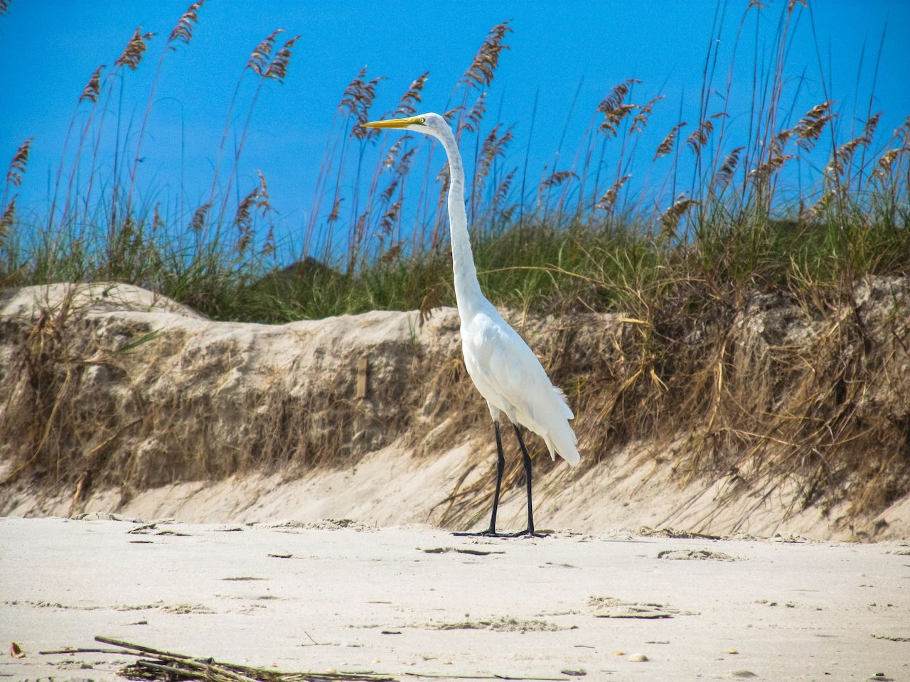 Great Egret at Cherry Grove just north of Myrtle Beach, SC