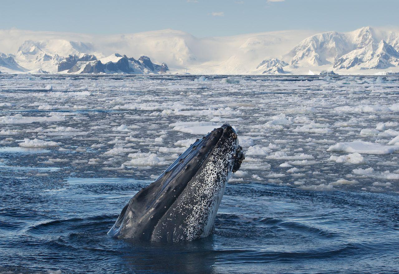 Humpback whale in water, Antarctica