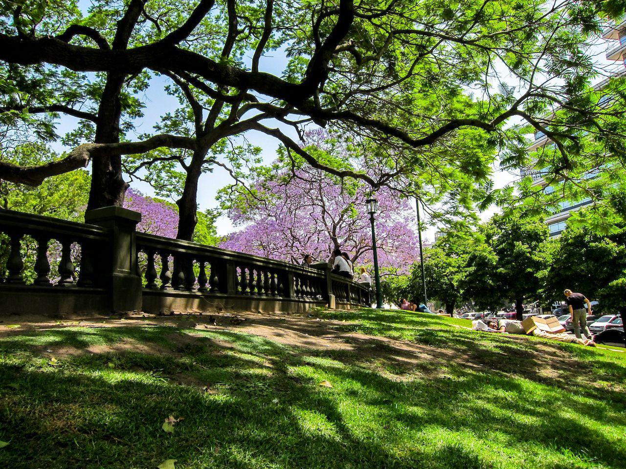 Jacaranda tree in full bloom on Plaza San Martin in Buenos Aires, Argentina