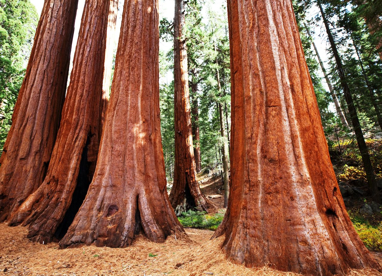 Mariposa Grove, sequoia trees, Yosemite