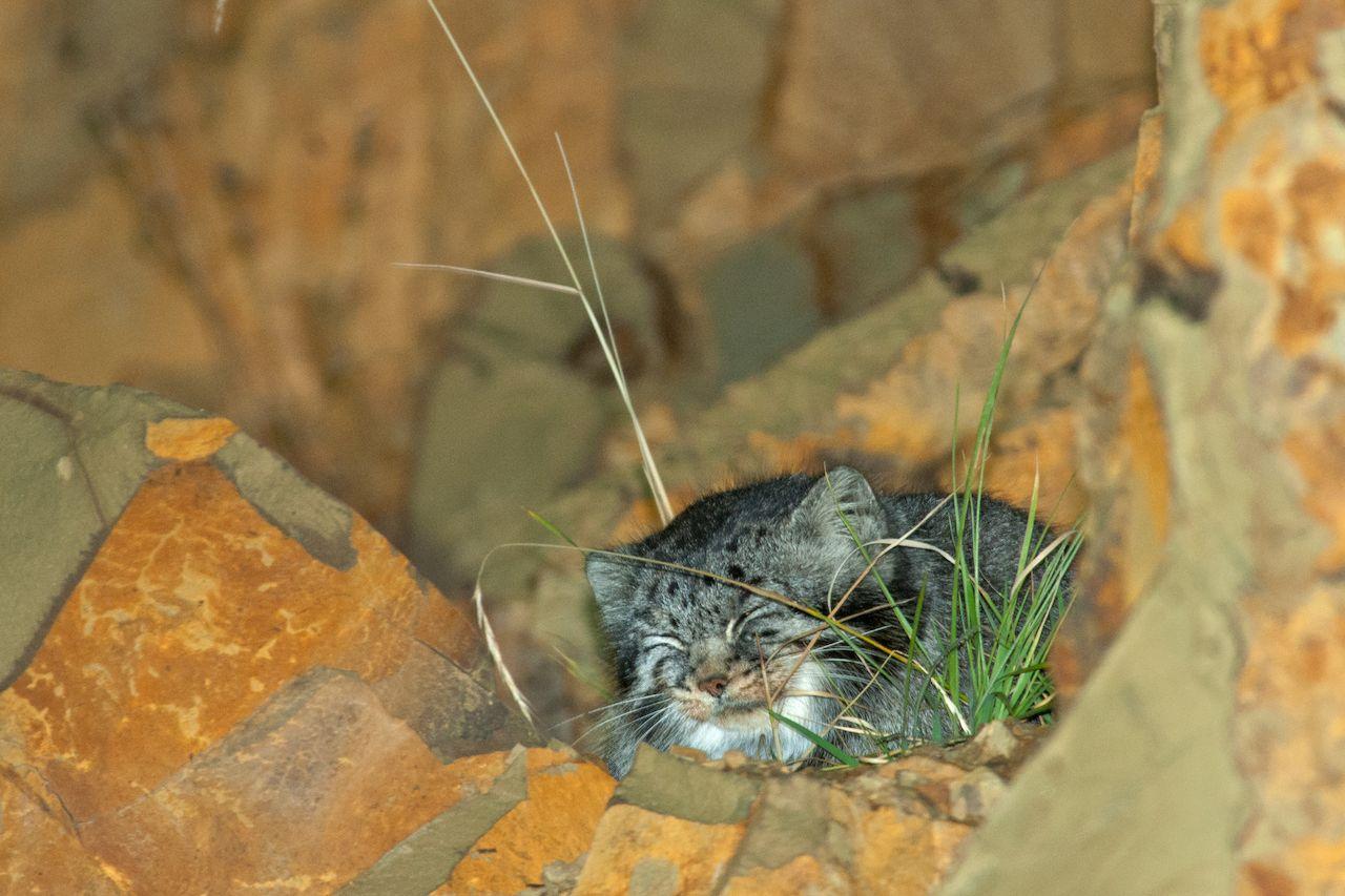 Pallas's cat in the wild