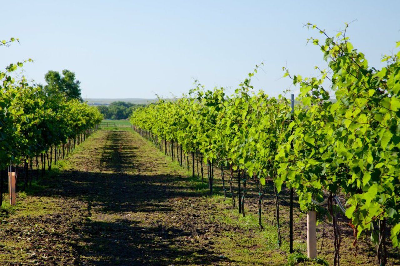 Rows of grape vines at a vineyard