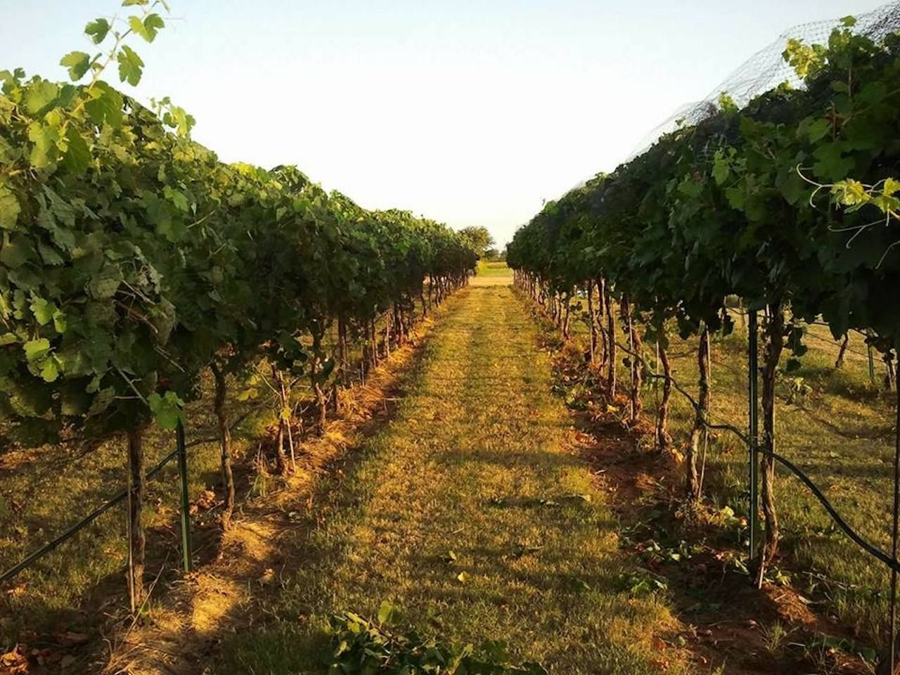 Rows of grapes at a vineyard in Oklahoma