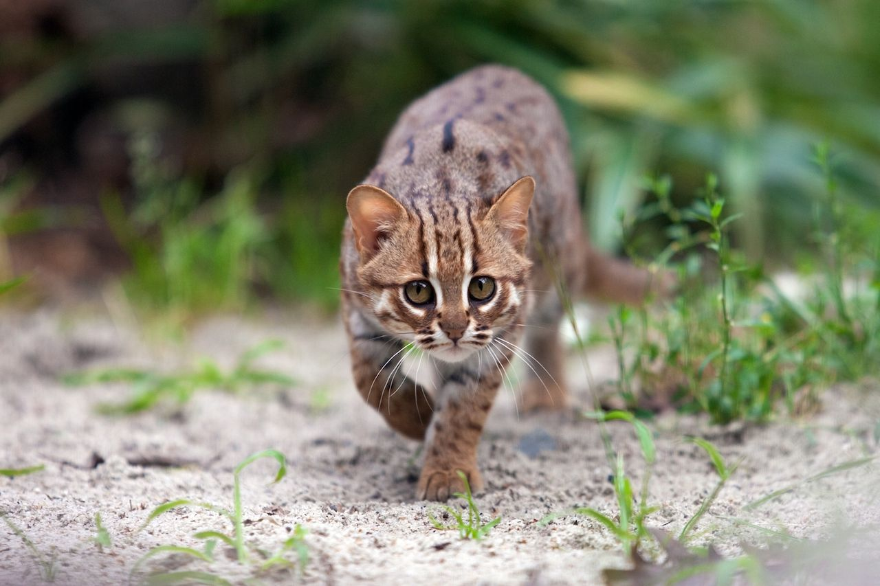 Rusty-spotted cat stalking her prey in Ceylon nature with one front paw raised
