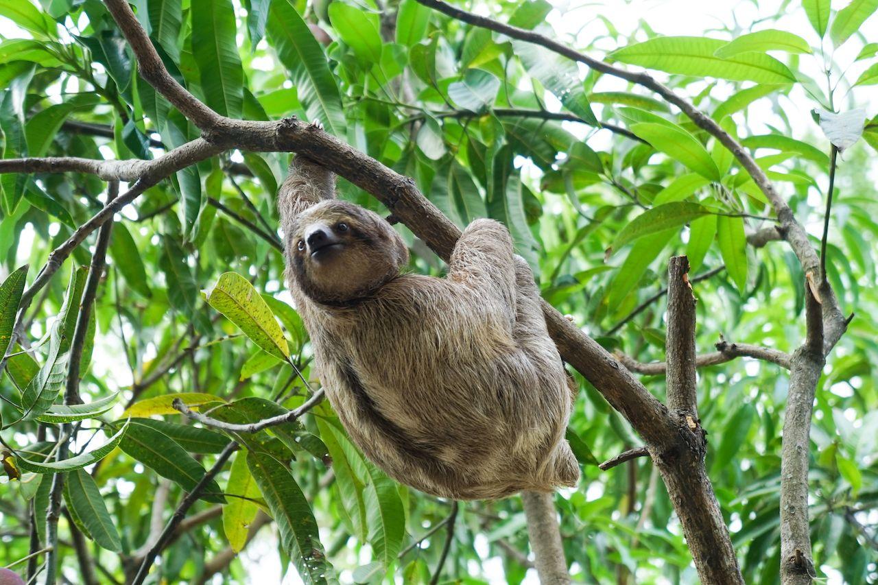 Sloth In Costa Rican Wildlife Rescue Volunteer Center
