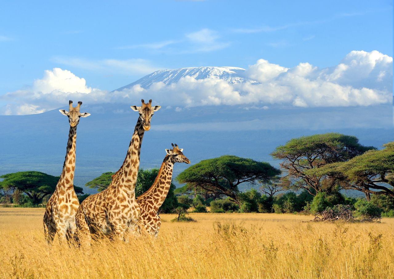 Three giraffes in Kenya