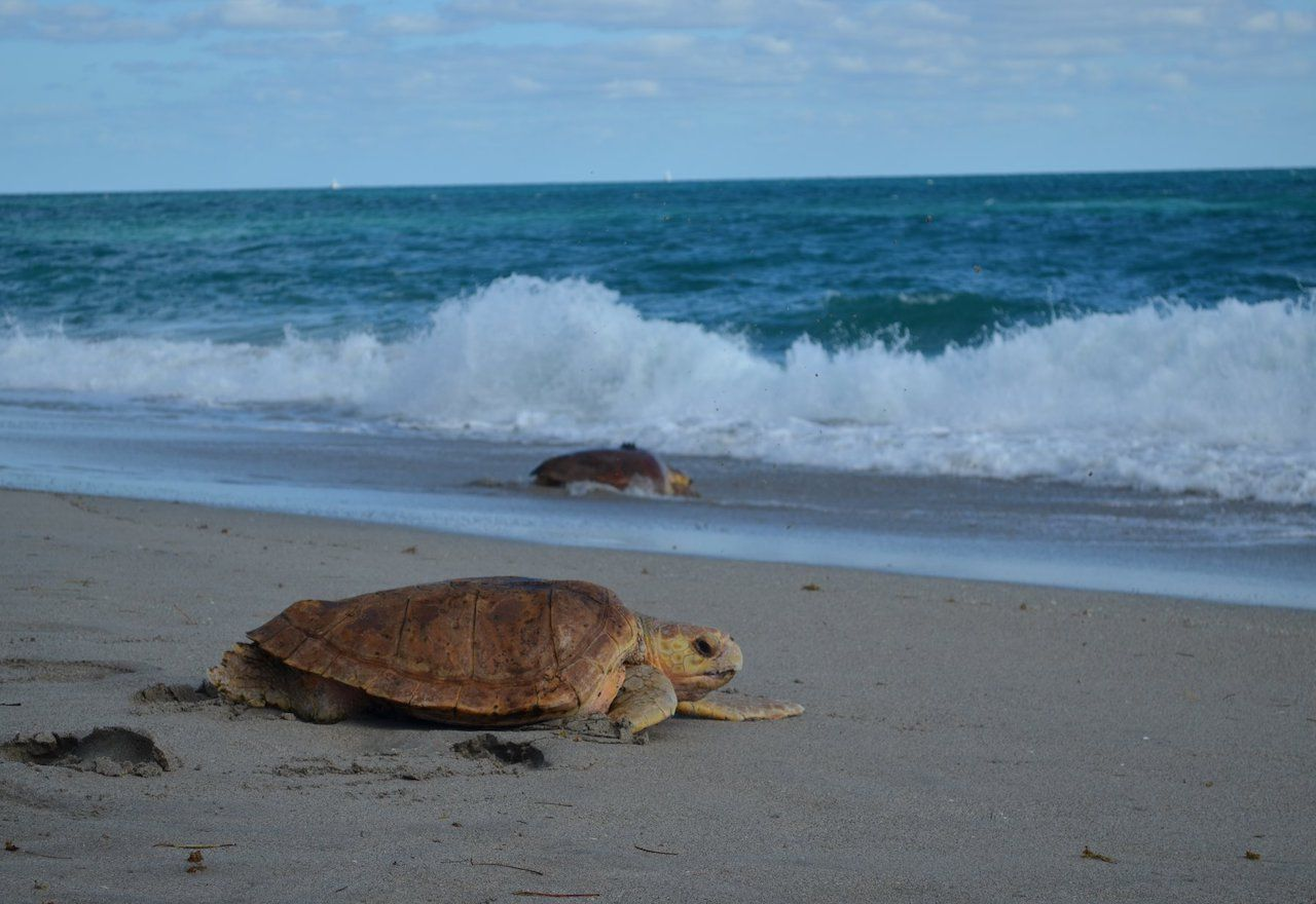 Two sea turtles on a beach heading toward the sea
