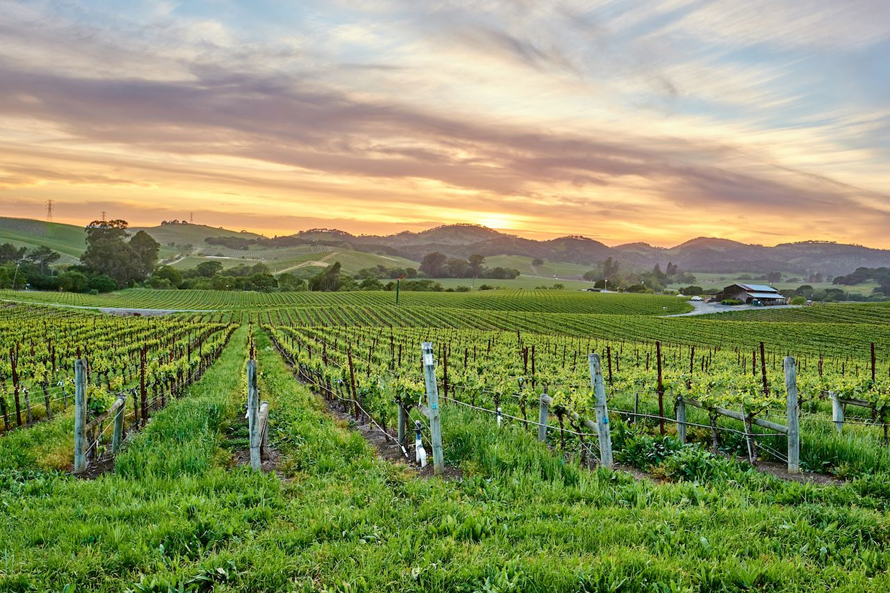 Vineyards at sunset in California