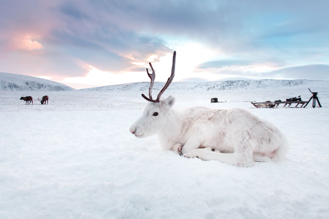 White reindeer spotted in Norway