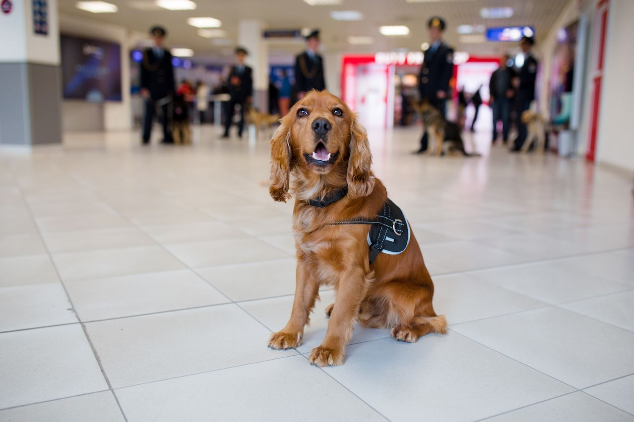 Delta bans emotional support animals